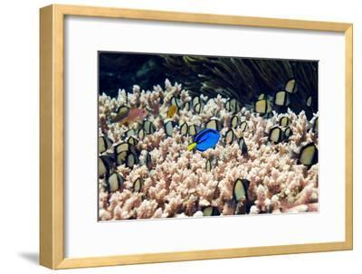 Palette Surgeonfish Over Coral-Georgette Douwma-Framed Photographic Print