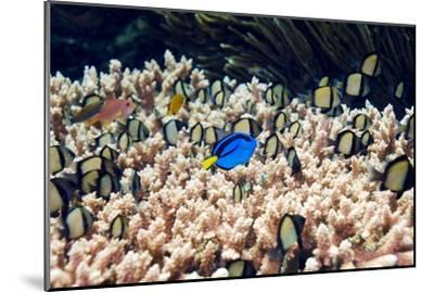 Palette Surgeonfish Over Coral-Georgette Douwma-Mounted Photographic Print