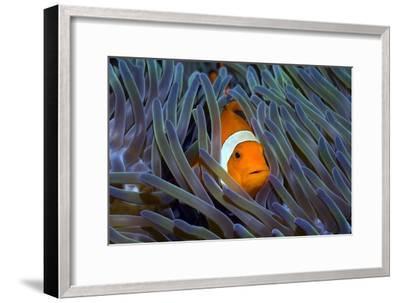 False Clown Anemonefish-Georgette Douwma-Framed Photographic Print