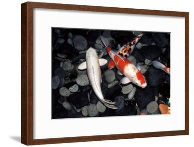 Koi Carp In a Pond-Georgette Douwma-Framed Photographic Print