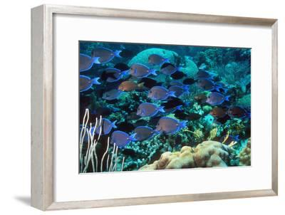 Blue Tang Shoal-Georgette Douwma-Framed Photographic Print