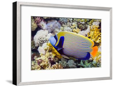 Emperor Angelfish-Georgette Douwma-Framed Photographic Print