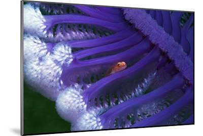 Fish Hiding In a Sea Pen-Georgette Douwma-Mounted Photographic Print