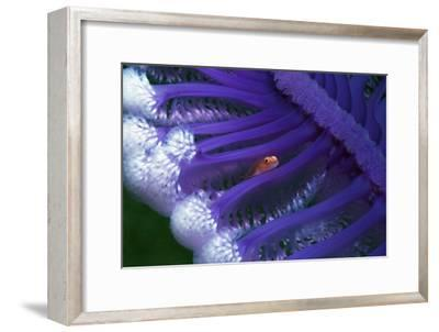 Fish Hiding In a Sea Pen-Georgette Douwma-Framed Photographic Print