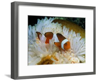 False Clown Anemone Fish-Georgette Douwma-Framed Photographic Print