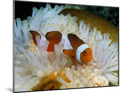 False Clown Anemone Fish-Georgette Douwma-Mounted Photographic Print