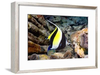 Moorish Idol-Georgette Douwma-Framed Photographic Print