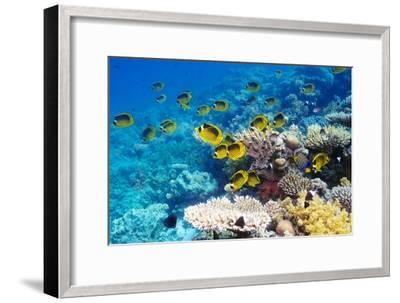 Red Sea Racoon Butterflyfish-Georgette Douwma-Framed Photographic Print