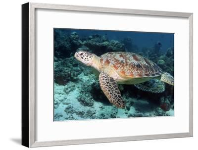Green Turtle-Georgette Douwma-Framed Photographic Print