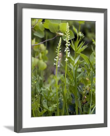 Platanthera Leucostachys Orchids-Bob Gibbons-Framed Photographic Print