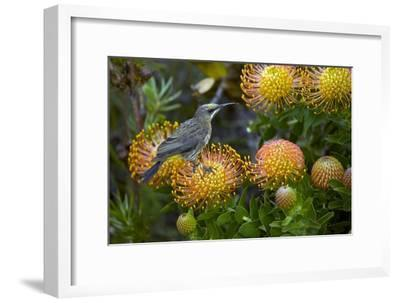 Cape Sugarbird on a Flower-Bob Gibbons-Framed Photographic Print