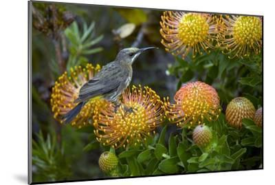 Cape Sugarbird on a Flower-Bob Gibbons-Mounted Photographic Print