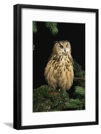 European Eagle Owl-David Aubrey-Framed Photographic Print