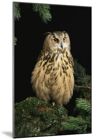 European Eagle Owl-David Aubrey-Mounted Photographic Print