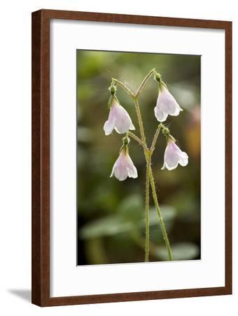 Twinflower (Linnaea Borealis)-Bob Gibbons-Framed Photographic Print