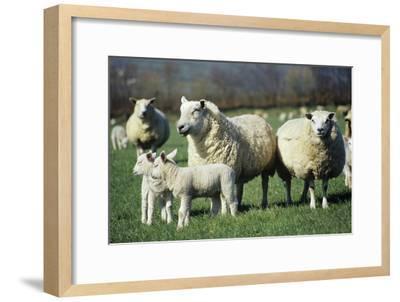 Domestic Sheep-David Aubrey-Framed Photographic Print
