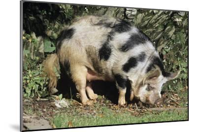 Kune Kune Pig-David Aubrey-Mounted Photographic Print