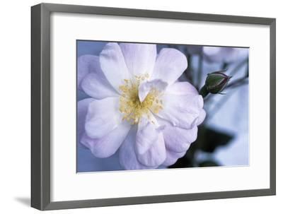 Rose 'Blush Noisette'-Maxine Adcock-Framed Photographic Print