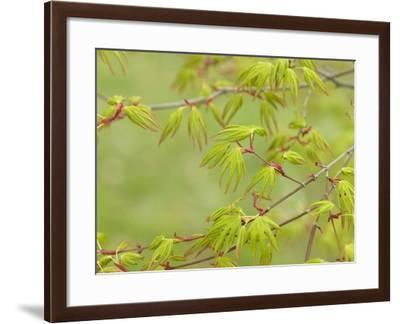 Japanese Maple (Acer Palmatum)-Adrian Bicker-Framed Photographic Print