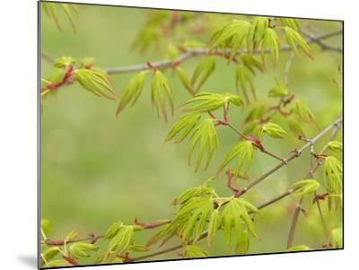Japanese Maple (Acer Palmatum)-Adrian Bicker-Mounted Photographic Print