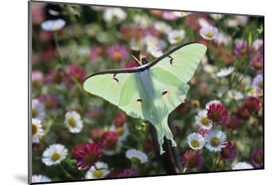 Luna Moth-David Aubrey-Mounted Photographic Print