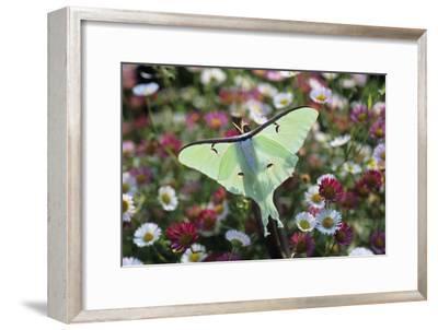 Luna Moth-David Aubrey-Framed Photographic Print