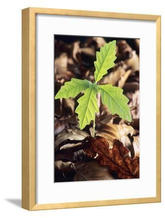 Oak Tree (Quercus Sp.) Seedling-David Aubrey-Framed Photographic Print