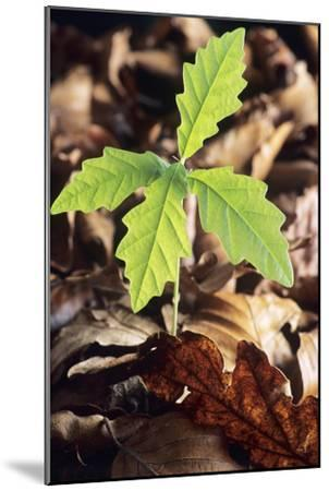 Oak Tree (Quercus Sp.) Seedling-David Aubrey-Mounted Photographic Print