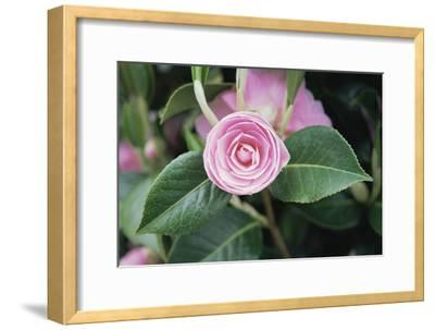 Camellia X Williamsii 'E G Waterhouse'-Maxine Adcock-Framed Photographic Print