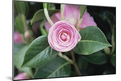 Camellia X Williamsii 'E G Waterhouse'-Maxine Adcock-Mounted Photographic Print