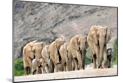 Desert-adapted Elephants-Tony Camacho-Mounted Photographic Print