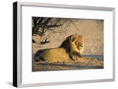 African Lion Male-Tony Camacho-Framed Photographic Print