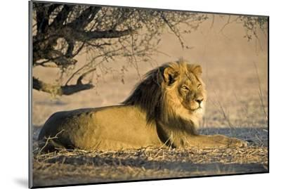 African Lion Male-Tony Camacho-Mounted Photographic Print