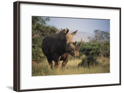 White Rhinoceros-Peter Chadwick-Framed Photographic Print