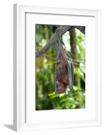Malayan Flying Fox-Tony Camacho-Framed Photographic Print