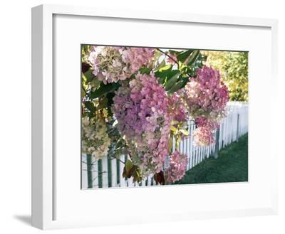 Hydrangea Garden Flowers-Tony Craddock-Framed Photographic Print