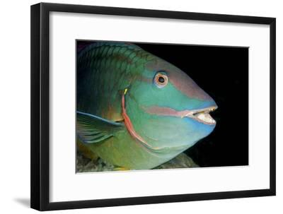 Stoplight Parrotfish-Clay Coleman-Framed Photographic Print
