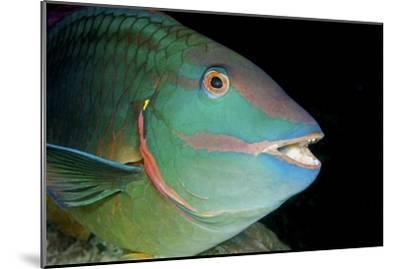 Stoplight Parrotfish-Clay Coleman-Mounted Photographic Print