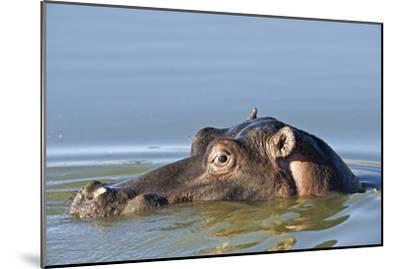 Hippopotamus In Water-Tony Camacho-Mounted Photographic Print