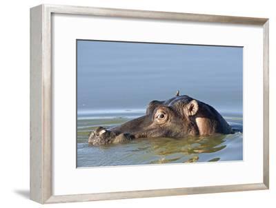 Hippopotamus In Water-Tony Camacho-Framed Photographic Print