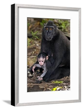 Crested Black Macaque And Baby-Tony Camacho-Framed Photographic Print