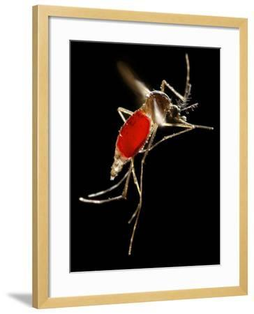 Mosquito Taking Flight- CDC-Framed Photographic Print