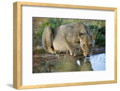 Lioness Drinking-Tony Camacho-Framed Photographic Print