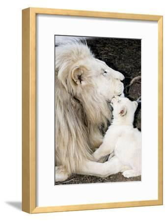 Male White Lion And Cub-Tony Camacho-Framed Photographic Print