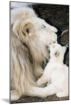 Male White Lion And Cub-Tony Camacho-Mounted Photographic Print