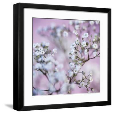 Gypsophila Flowers (Gypsophila Sp.)-Cristina-Framed Photographic Print