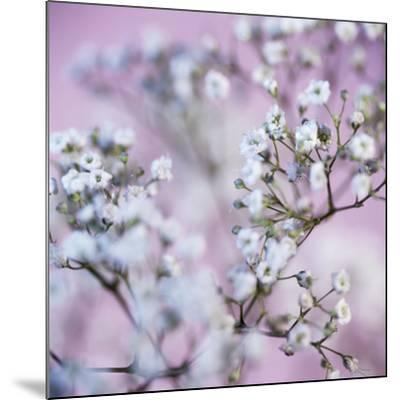Gypsophila Flowers (Gypsophila Sp.)-Cristina-Mounted Photographic Print