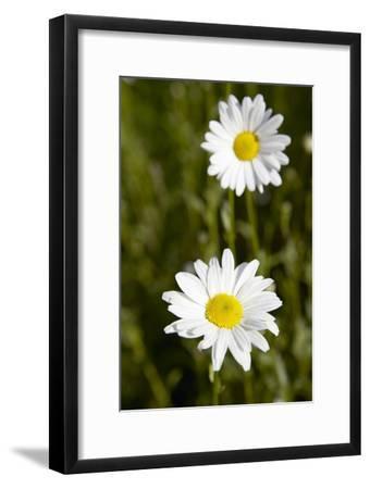 Ox-eye Daisy (Leucanthemum Vulgare)-Colin Cuthbert-Framed Photographic Print