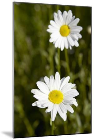 Ox-eye Daisy (Leucanthemum Vulgare)-Colin Cuthbert-Mounted Photographic Print