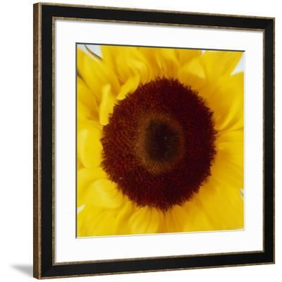 Sunflower (Helianthus Annuus)-Cristina-Framed Photographic Print